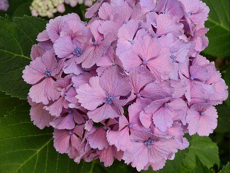 07/09紫陽花