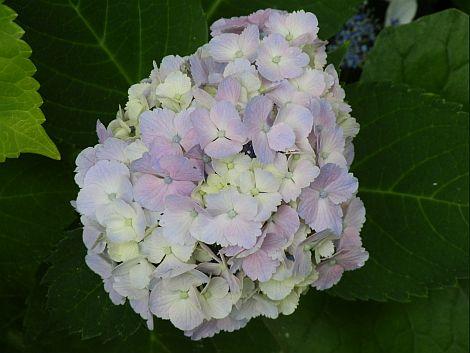 07/13紫陽花
