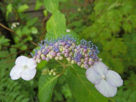 06/19紫陽花-1