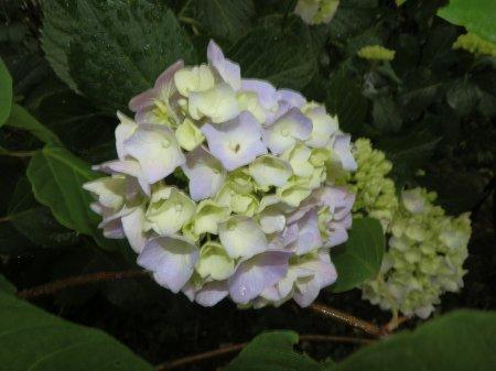 06/19紫陽花-2