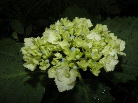 06/20紫陽花-2