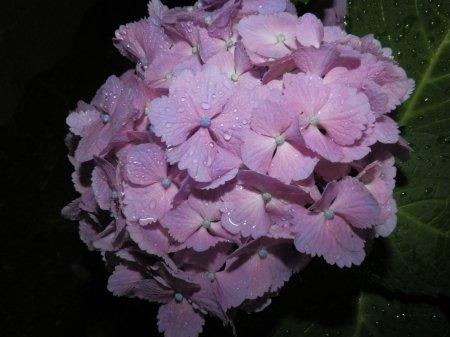 07/03紫陽花-1