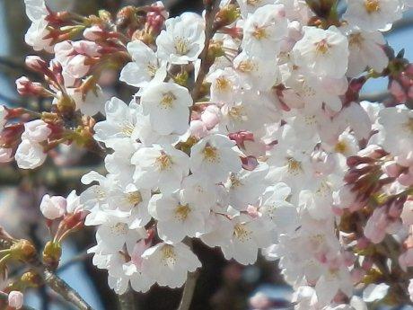 04/09桜-1