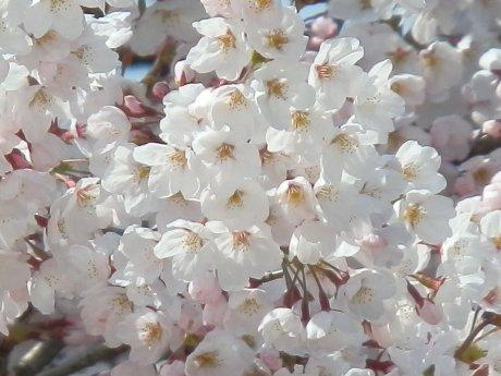 04/11桜-1