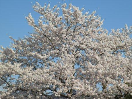 04/15桜-1