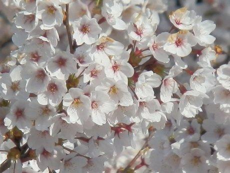04/15桜-2