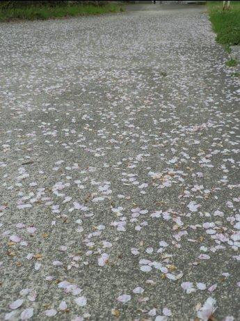 04/18桜-1