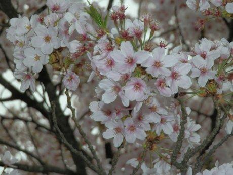 04/18桜-2.
