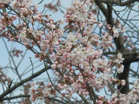 04/05桜
