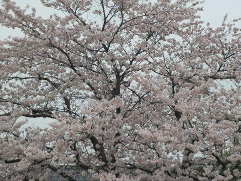 04/07桜-1