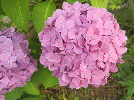 07/03紫陽花i01